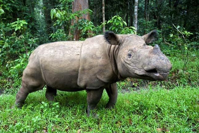 Szumátrai rinocérosz
