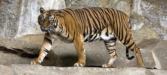 Szumátrai tigris