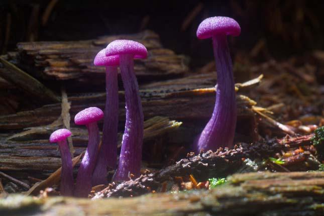 Laccaria amethystina (Ametiszt csaló gomba)