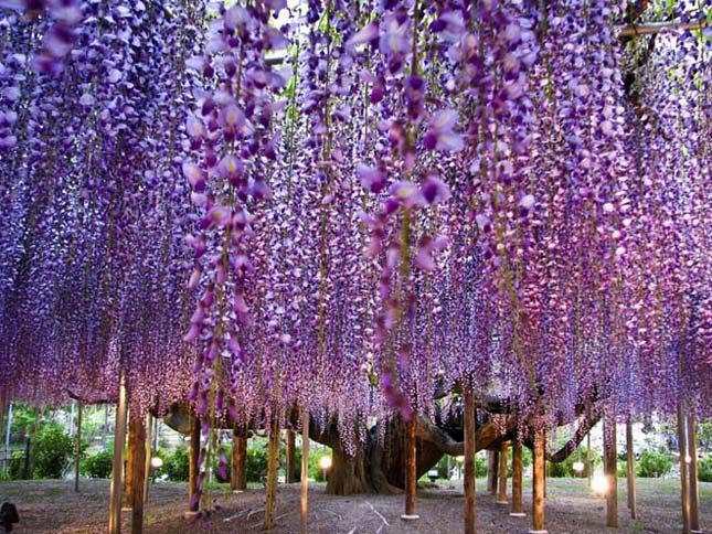 A csodálatos Ashikaga virág park