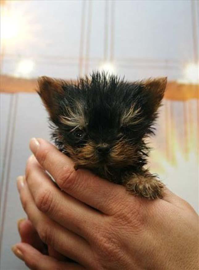 A világ legkisebb kutyája
