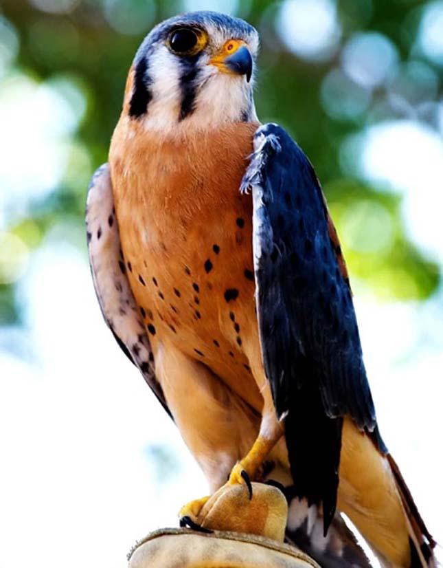 A világ legszebb madarai, tarka vércse