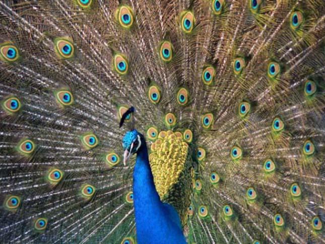A világ legszebb madarai, páva
