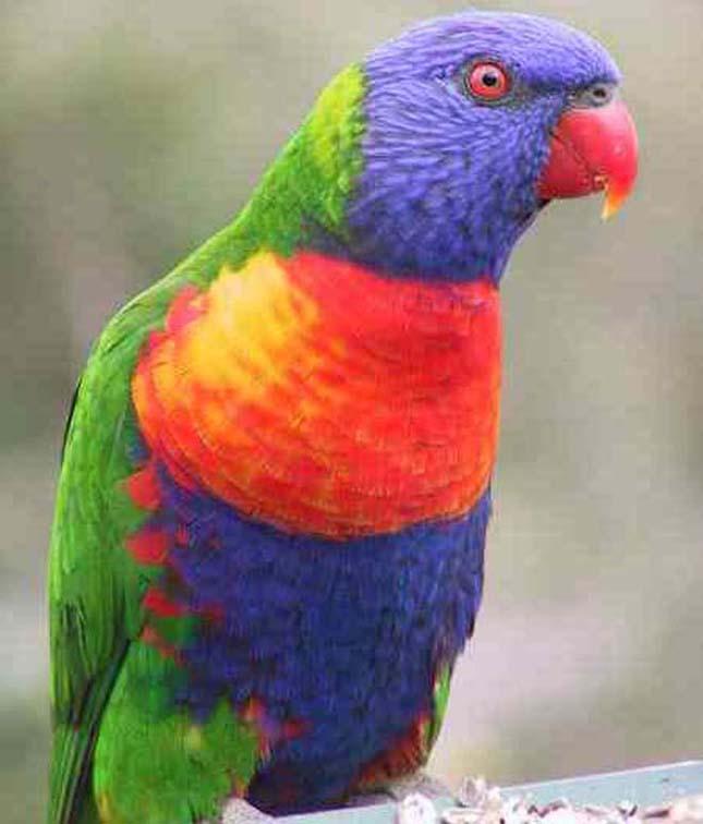 A világ legszebb madarai, szivárványlóri