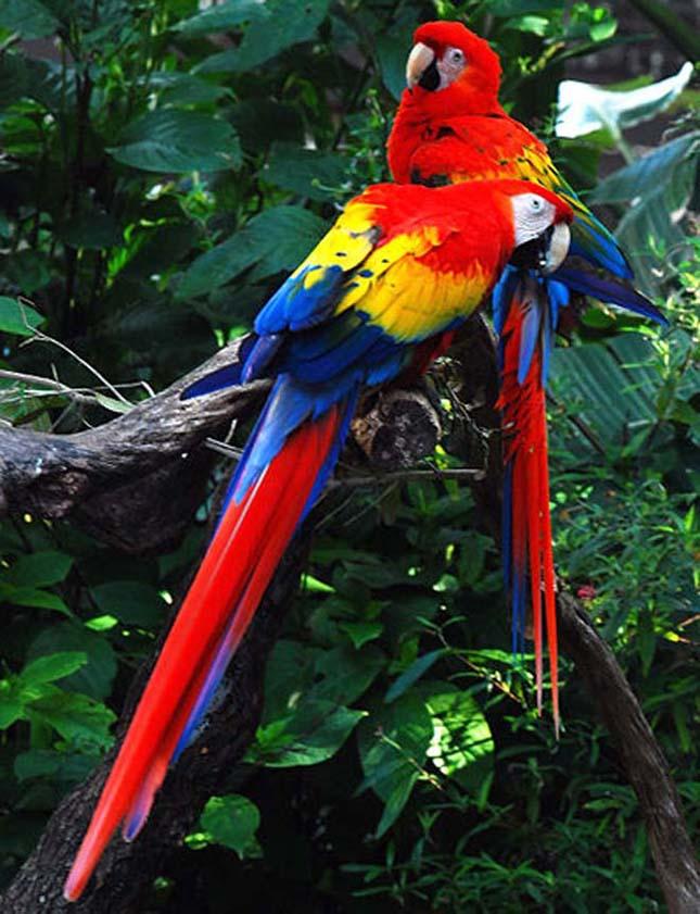A világ legszebb madarai, sárgaszárnyú ara