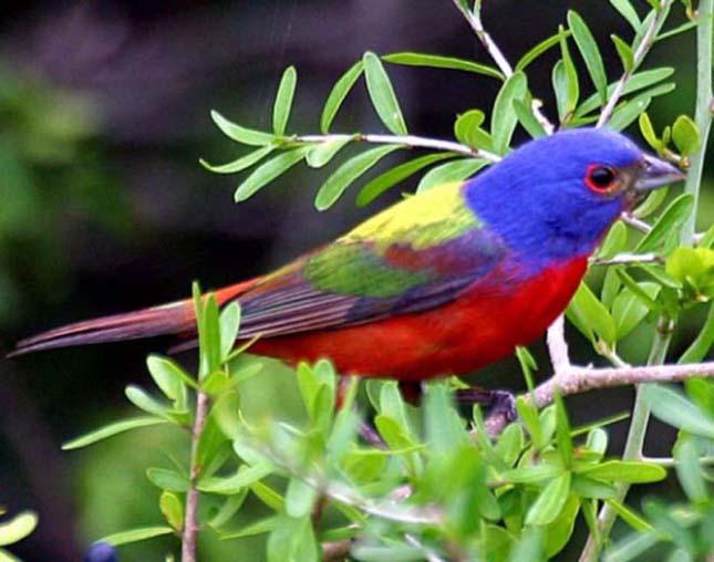 A világ legszebb madarai, pápapinty