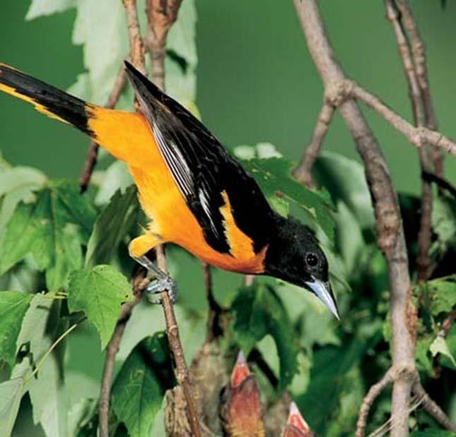A világ legszebb madarai, narancstrupiál
