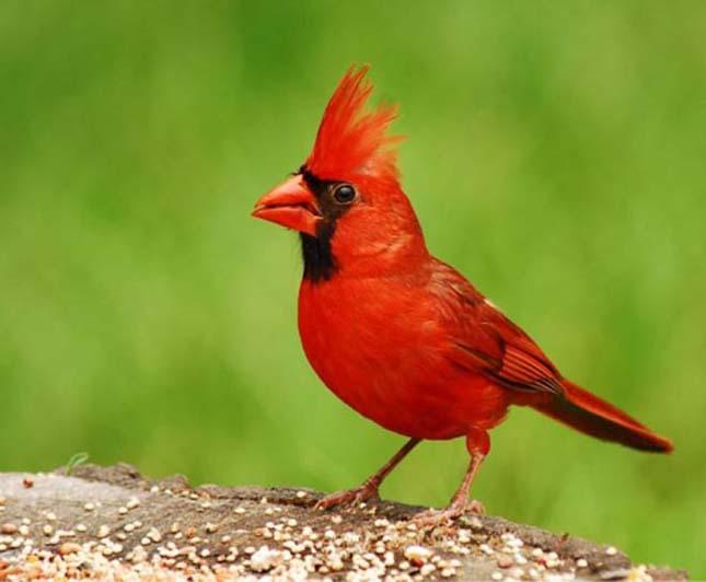 A világ legszebb madarai, kardinálispinty