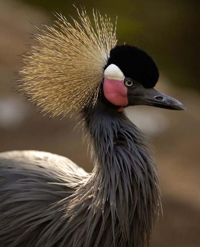 A világ legszebb madarai, szürkenyakú koronásdaru