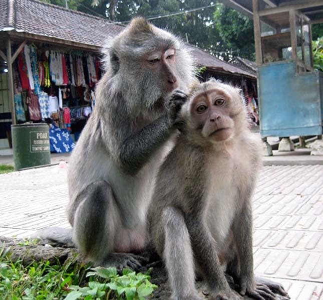 Alas Kedaton majomerdő
