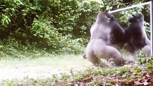 Így reagálnak az állatok a tükörképükre