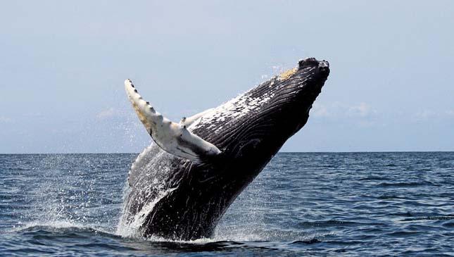 Alvó bálnák