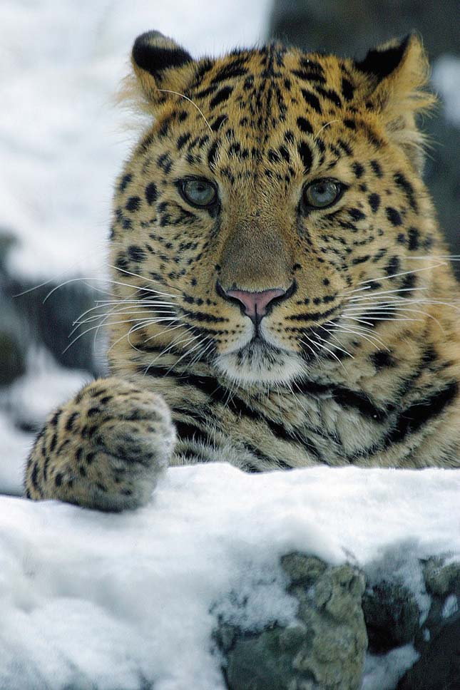 Amuri leopárd