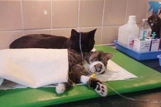 Ápoló cica
