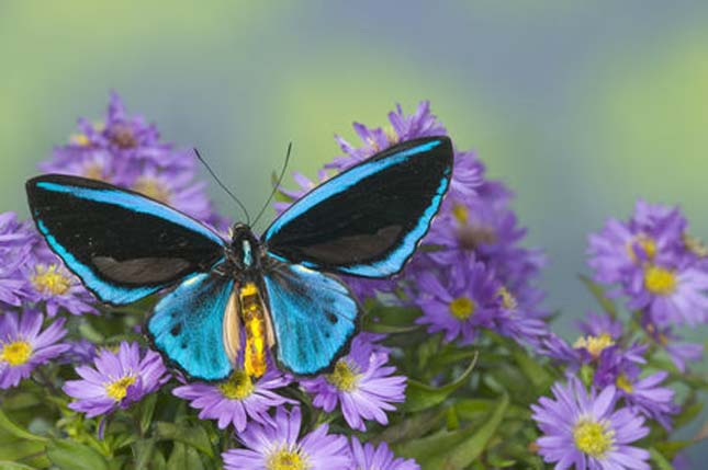 Ornithoptera priamus, vagyis a Priamosz madárpillangó