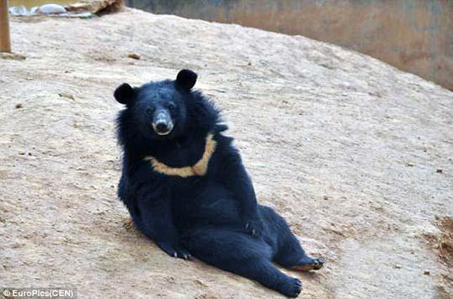 Ázsiai fekete medvék