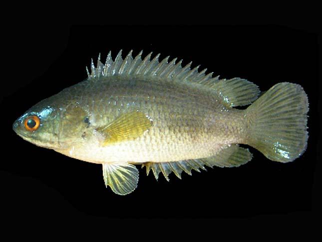 Ázsiai kúszóhal