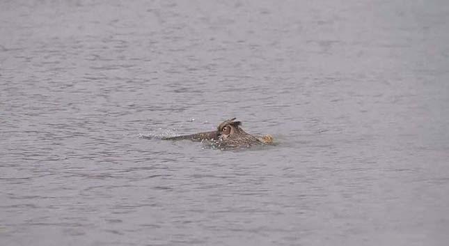 Bagoly úszott egy tavon