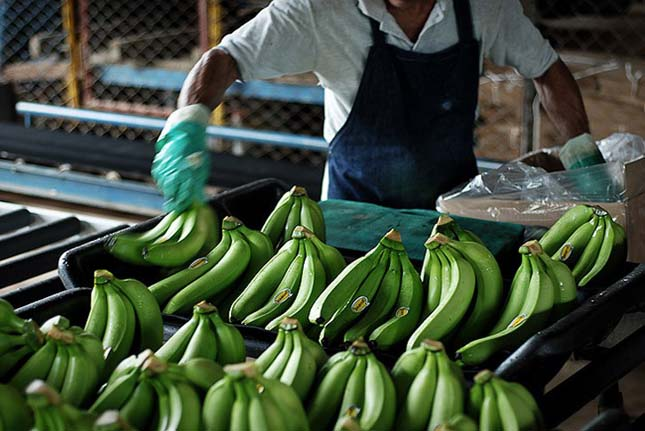 Banán szüretelése
