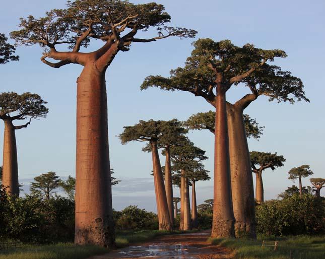 Baobab avenue, majomkenyérfák útja