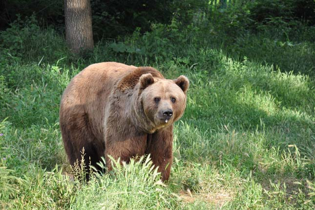 Barna medve