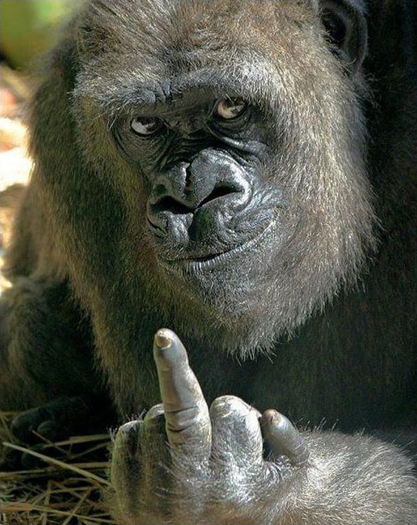 Bemutatott a gorilla