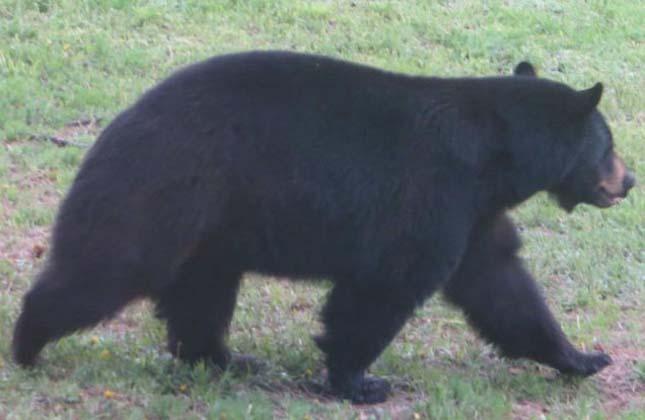 38 pitét falt fel a medve