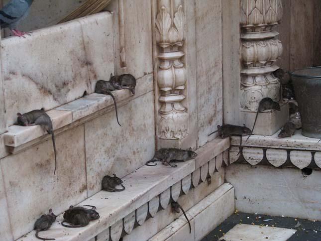 Bizarr turistalátványosságok, Patkányok temploma
