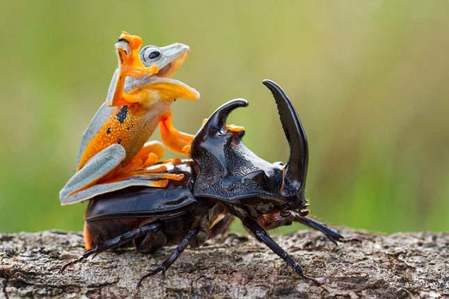 Az orrszarvú bogár és a repülőbéka