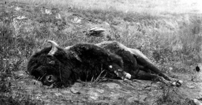 Amerikai bölények irtása
