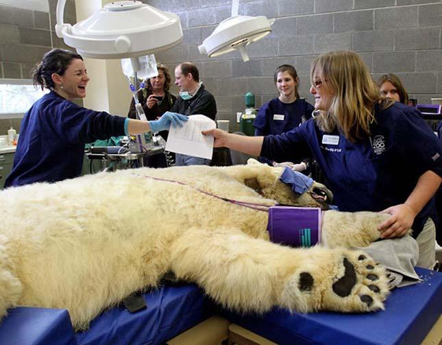 Borisz a jegesmedve fogorvosnál járt