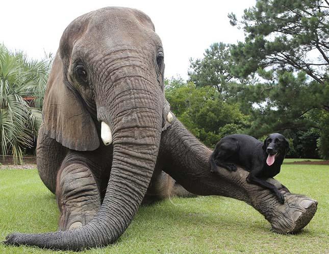 Az elefánt és a labrador barátsága