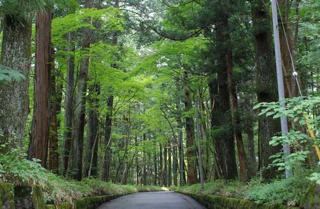 Cédrus út Japánabn