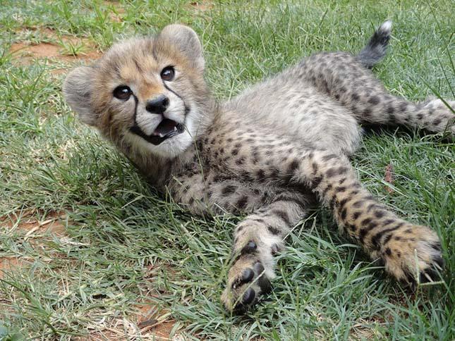 Cheetah Experience