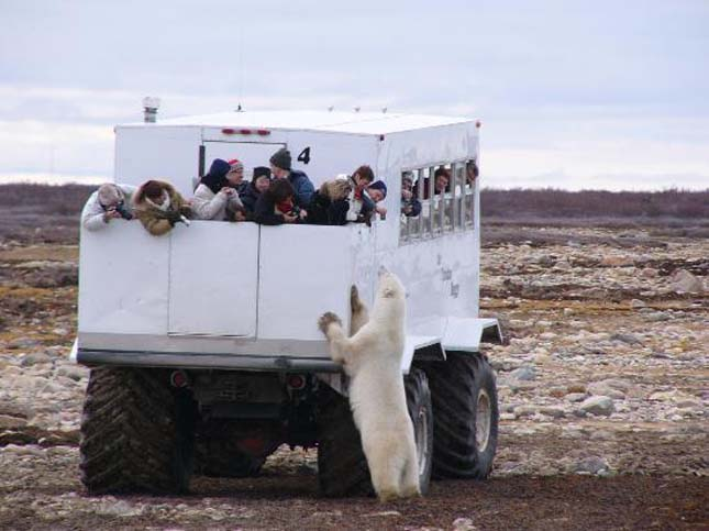 Churchill, a jegesmedvék fővárosa