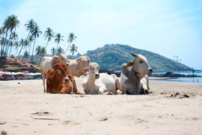 Goa Cow Beach