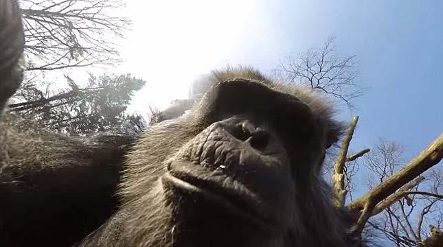 Kiütötte a drónt a csimpánz