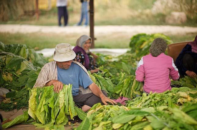 Dohány termesztése