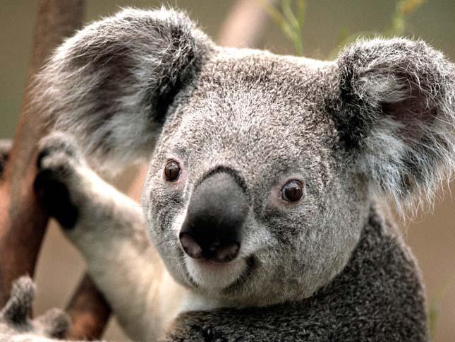 Koalák