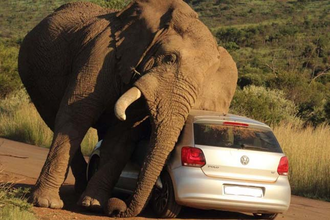 Elefánt ejtett fogságba egy autót