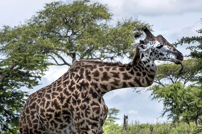 Eltört nyakú zsiráf