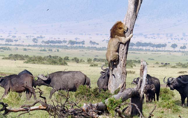 Fára menekült az oroszlán