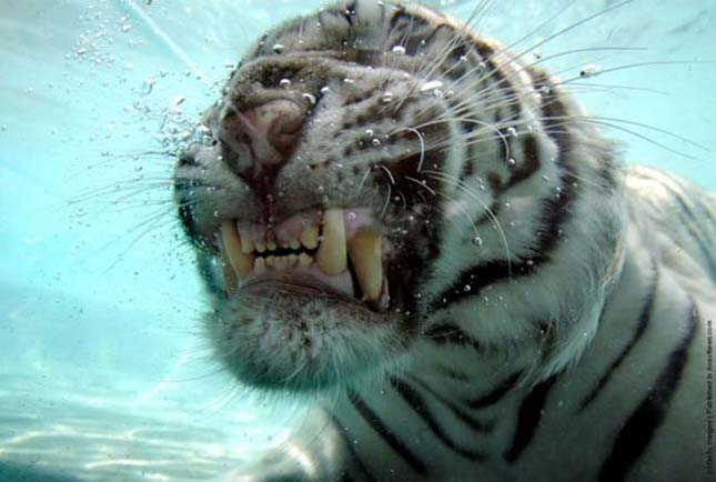 Odin, a búvárkodó fehér tigris