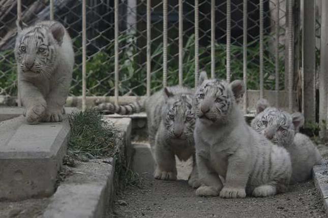 Fehér tigris kölykök