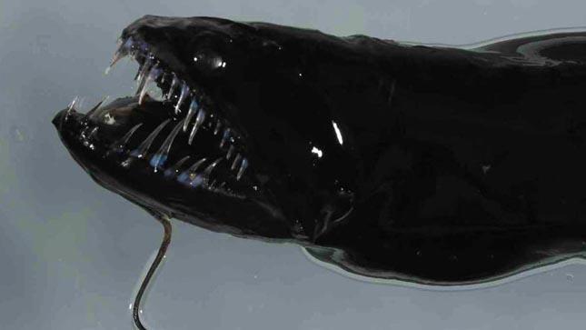 Idiacanthus atlanticus