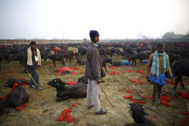 Gadhimai fesztivál