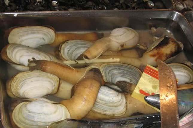 Geoduck kagyló