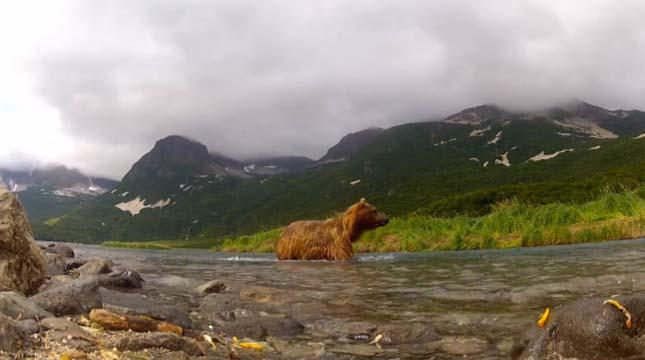Grizzly megrágja a kamerát