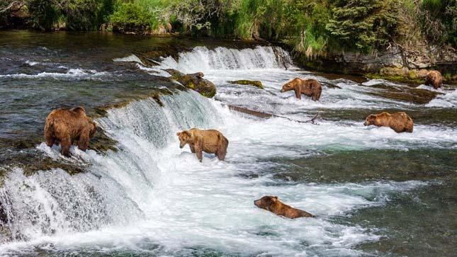 Halászó medvék