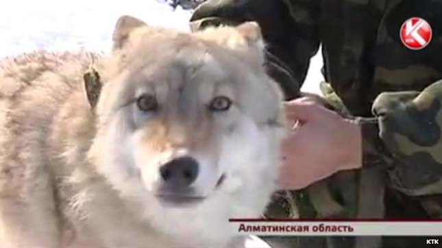 Háziasított farkasok